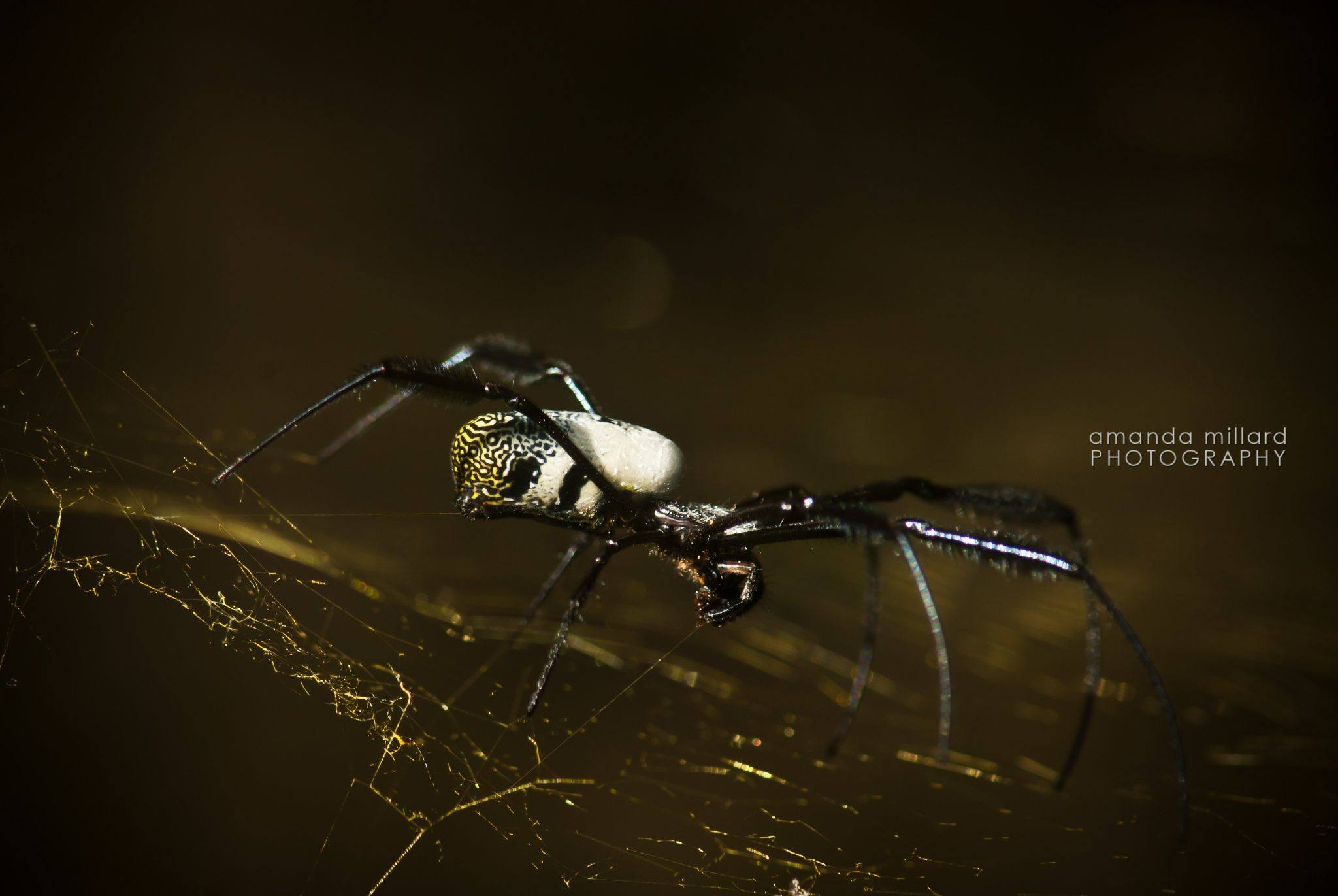 MACRO: Golden Orb Spider